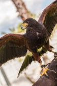 American falcon — Stock Photo