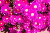 Pink and Magenta — Stock Photo