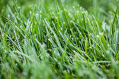 Green grass grows — Stock Photo