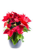 Potted poinsetta — Stock Photo