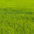 Lush grass — Stock Photo