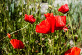 Bright poppies — Stock Photo