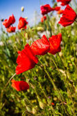 Vibrant poppies — Stock Photo