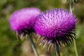 Thistle flowers — Stock Photo