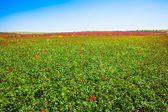 Poppy horizon — Stock Photo