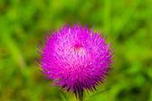 Thistle flower — Stock Photo
