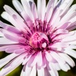 Stock Photo: Crepis rubra