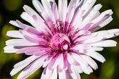 Crepis rubra — Stock Photo