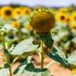 Bare sunflowers — Stock Photo