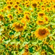 Vibrant sunflowers — Stock Photo