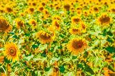 Vibrant sunflowers — Stock Photo