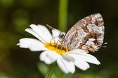 Cacyreus marshalli feeding — Stock Photo
