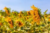 Sunflowers crop — Stock Photo