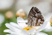 Cacyreus marshalli — Stok fotoğraf
