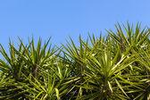 Yucca gigantea — Stock Photo