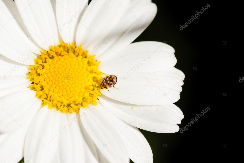 Bug on a daisy beetle on a white daisy