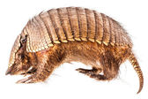 Armadillo — Stock Photo