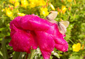 Butterfly on pink Paeon Flower with water drops summer — Foto Stock