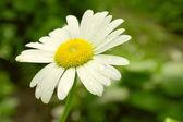 Сhamomile Flower Summer green background — Stock Photo
