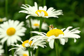 Сamomile Flower and Bee taken pollen Summer colorful background — Zdjęcie stockowe
