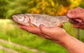 Fish Bream in Fishermen's hands — Stock Photo