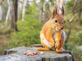 Squirrel with nuts and summer forest on background — Stok fotoğraf