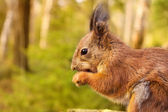 Squirrel with nuts and summer forest on background wild nature thematic — Stok fotoğraf