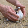 Pigeon Nestling Bird white on sand and Man Hands holding Birds Enter to the new world of baby dove — Stock Photo #27146249
