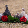 Foto Stock: Pigeon Nestlings Birds sitting on sand together with Roses Flower