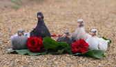 Pigeon Nestlings Birds sitting on sand together with Roses Flower — Stock Photo