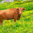 Brown Cow Farm Animal on alpine green valley with flowers ecology clear agriculture concept — Stock Photo #29543025