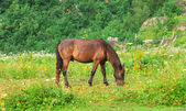 Brown Horse pastured on Green Valley eating fresh grass rural landscape ecology clear concept — Stock Photo