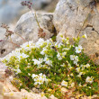 White Flowers in Caucasus Mountains reserve growing on stones — Stock Photo #29555545