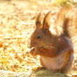 Squirrel with nuts and summer forest on background wild nature thematic (Sciurus vulgaris, rodent) — Stockfoto
