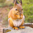 Squirrel with nuts and summer forest on background wild nature thematic (Sciurus vulgaris, rodent) — Stock Photo