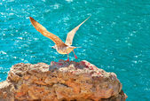 Gull Bird flying from rocky cliff outdoor with blue Sea on background wild nature Gulls are birds in the family Laridae — Stock Photo