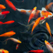 Stock Photo: Koi Carps Fish Japanese swimming (Cyprinus carpio) beautiful