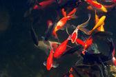 Koi Carps Fish Japanese swimming (Cyprinus carpio) beautiful — Stock Photo