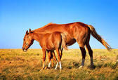 Horse Mare with Foal mother and baby Farm Animal on field — Stock Photo
