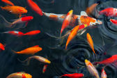 Koi Carps Fish Japanese swimming (Cyprinus carpio) beautiful — Stock Photo