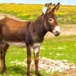 Donkey Farm Animal brown color standing on field grass (The donkey or ass, Equus africanus asinus is a domesticated member of the Equidae or horse family) — Stock Photo