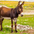 Stock Photo: Donkey Farm Animal brown color standing on field grass (donkey or ass, Equus africanus asinus is domesticated member of Equidae or horse family)