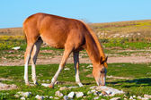 Young Horse Farm Animal pastured on Green Valley eating fresh grass rural landscape — Stock Photo
