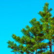 Northern Fir Tree with cones on branches blue sky on background — Zdjęcie stockowe