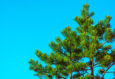 Northern Fir Tree with cones on branches blue sky on background — Stock Photo