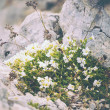 White Flowers on stones growing in mountains beautiful nature — Stock Photo #42617587