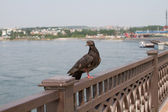 The pigeon is sitting on the fence in the waterfront city of Irkutsk — Stock Photo
