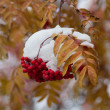 Bunches of ripe rowan in the snow — Stock Photo