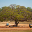 Stok fotoğraf: Large spreading tree and resting underneath