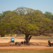 Stockfoto: Large spreading tree and resting underneath